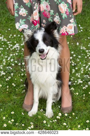 Great border collie dog sitting between the legs of his female boss