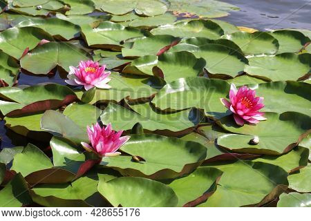 Pink Water Lily In Pond. Close-up Of Waterflower Lotus Floating On The River Water