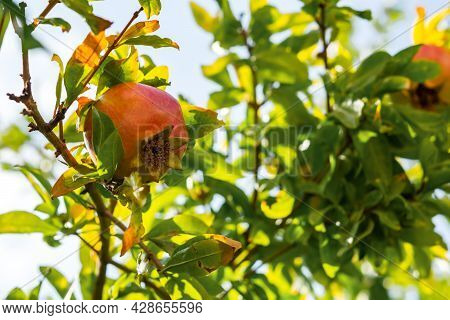 Punica Granatum Fruits Ripen On A Branch In Close-up. Red Ripe Pomegranate Fruits Grow In The Garden