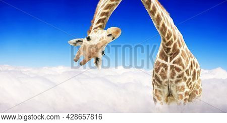 Giraffe face head hanging upside down. Curious gute giraffe peeks from above clouds. Fantastic scene with huge giraffe coming out of the cloud