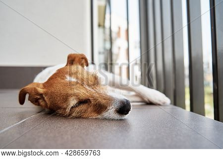 Sad Tired Dog On The Floow. Sleeping Jack Russell Terrier. Alone Pet Wait For His Owner