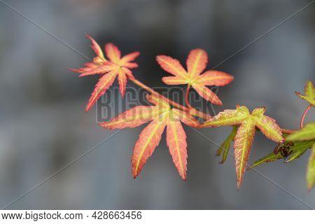 Japanese Maple Wilsons Pink Dwarf - Latin Name - Acer Palmatum Wilsons Pink Dwarf