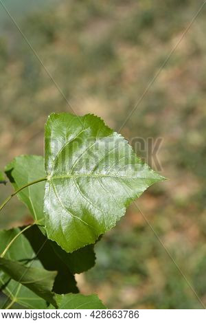 Lombardy Poplar Leaves - Latin Name - Populus  Var. Italica