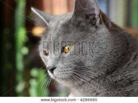 British Blue Short-haired Cat