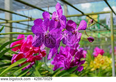 Orchid Flower In Orchid Garden At Spring Day. Orchid Flower For Design. Beautiful Orchid Flower In G