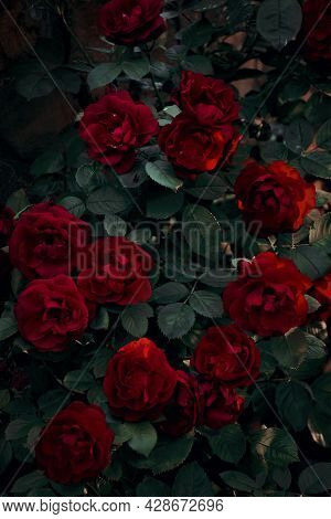 A Dense Bush Of Red Roses In The Dark With The Rays Of The Setting Sun. Sunset. Deep Shadows. Fairy,