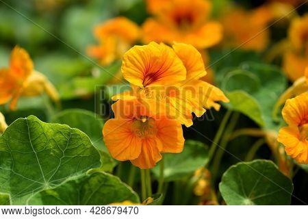 Close-up Of Vibrant Yellow Nasturtium Or Tropaeolum Majus Flowers In The Garden. Selective Focus