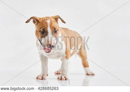 Miniature Bull Terrier Puppy Posing On White Background. Portrait Of A Red Or Brown Bull Terrier In