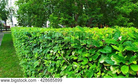 A Fence Made Of Green Bushes. Ornamental Shrubs. Flower Beds In The City Park.