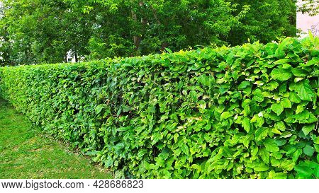 Ornamental Shrubs. A Wall Of Green Bushes. Flower Beds In The City Park.