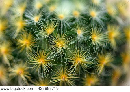 Closeup Of Spines On Cactus