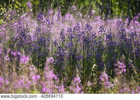 Chamaenerion Angustifolium, Fireweed, Great Willowherb, Rosebay Willowherb Is A Perennial Herbaceous