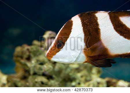 White-tailed Damselfish (dascyllus Aruanus)