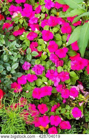 Phlox (lat. Phlox) Bright Pink Color On A Background Of Green Grass On A Clear Sunny Day. Nature Flo