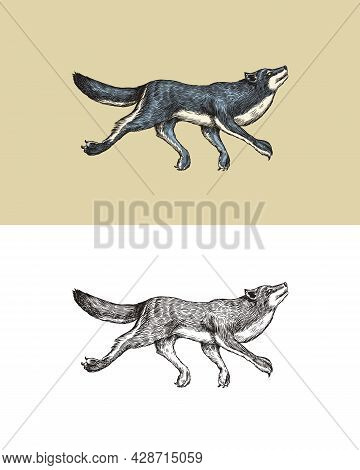 Gray Wolf. A Predatory Beast. Wild Forest Animal Jumping. Vector Engraved Hand Drawn Vintage Old Ske