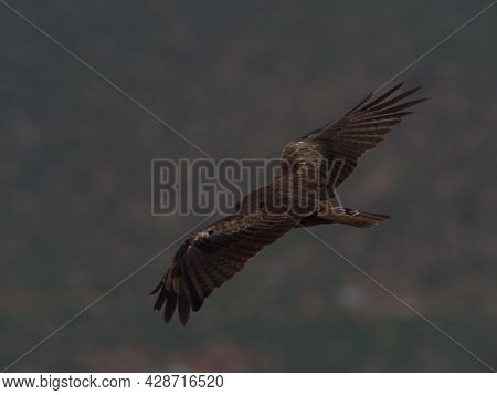 Closeup Portrait Of Tawny Eagle (aquila Rapax) Flying Wings Spread In Aksum, Ethiopia.