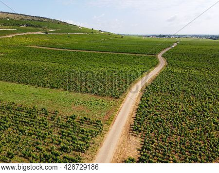 Aerian View On Green Grand Cru And Premier Cru Vineyards With Rows Of Pinot Noir Grapes Plants In Co