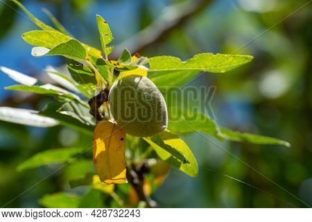 Green Almonds Nuts Ripening On Tree, Cultivation Of Almond Nuts In Provence, France