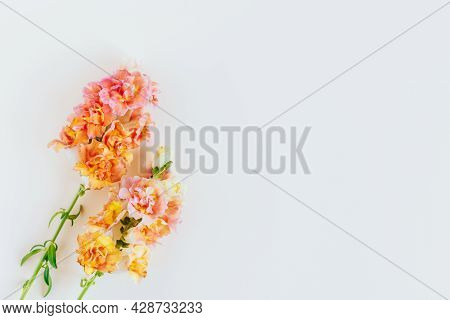Pink And Yellow Flowers Of Snapdragon Or Antirrhinum Majus On A Cream Background. Place For Text. Fl