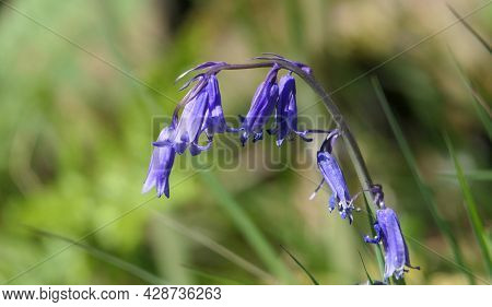 Bluebells Hyacinthoides Growing In Woodland In Uk