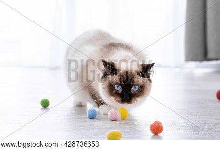 Adorable fluffy ragdoll cat with beautiful blue eyes standing on the floor and looking at colorful balls. Portrait of breed feline pet with toys. Beautiful purebred domestic animal playing indoors