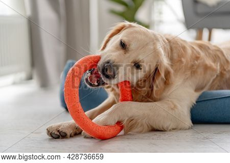 Golden retriever dog biting ring toy while lying on dog bed at home