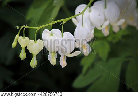 Macro Photo Of White Bleeding Heart Flowers Blooming