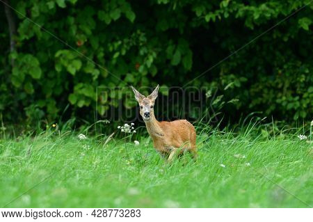 Deer Family Grazing Grass On The Green Meadow