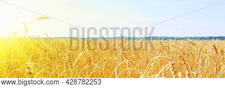 Golden Wheat Field With Blue Sky. Golden Wheat Field In Summer. Sunrise On Wheat Field With Rye. Sum
