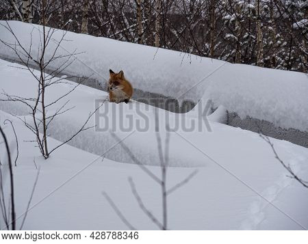 A Red Fox Runs Away Through The Snow Into The Distance. The Concept Of A Hungry Winter, Rabies In An