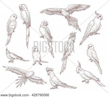 Hand Drawn Sketches Of Parrots. Vector Set Of Exotic Birds: Cockatoo, Macaw, Ara. Illustrations Draw