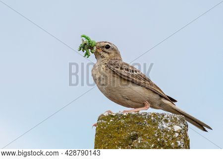 Tawny Pipit, Anthus Campestris, A Solitary Bird Sitting On A Stone Pillar With Caterpillars In Its B