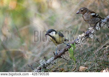 Garden Bird Big Tit, A Songbird Sitting On A Branch. Small Birds In Their Natural Forest Habitat.