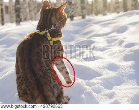 Animal With Alopecia Of Paw.
