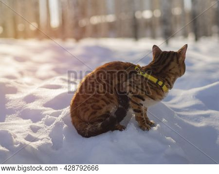Walking, A Pet In Park, A Trip With Feline Through Forest.