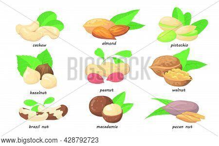 Nuts And Seeds Set. Almond, Hazelnut, Pistachio, Macadamia, Pecan, Cashew, Walnut, Pistachio, Brazil