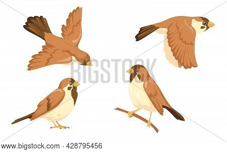 Sparrow Character Vector Illustrations Set. Small Bird With Brown Feathers Sitting On Tree Branch An