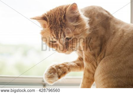Trimmed Cat With Ginger Fur Is Sitting On Windowsill After Grooming And Trimming During Summer, Anim