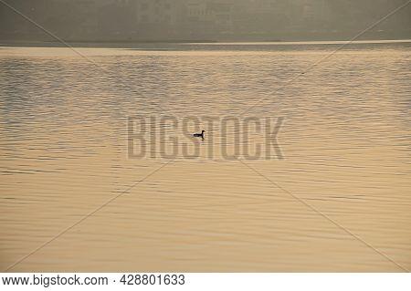 Stock Photo Of Duck Swimming In Lake Water Or Floating On Lake Water During Beautiful Orange Golden
