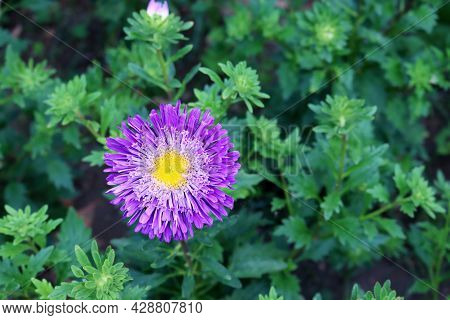 Lilac Aster On A Blurred Green Background. Blooming Asters In The Summer Garden.