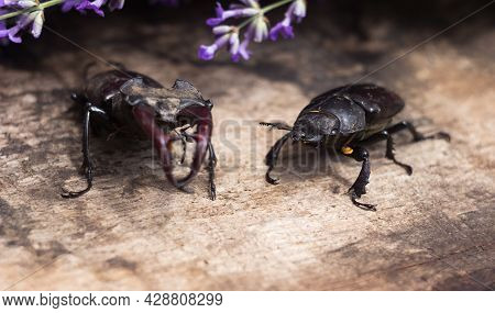 The Male And Female Stag Beetle. Large Insect On A Wooden Board And Against The Background Of A Lave