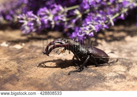 Male Stag Beetle. Large Insect On A Wooden Board And Against The Background Of A Lavender Branch. Na