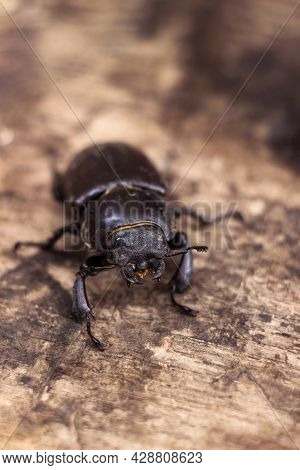 The Female Stag Beetle. Large Insect On A Wooden Board. Nature, Fauna