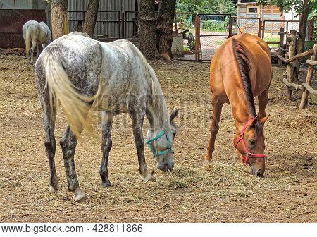 A Chestnut Horse And Gray Horse (equus Ferus Caballus) Grazing In Enclosure