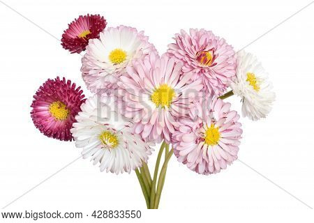 Bellis Perennis Flowers Isolated On White Background