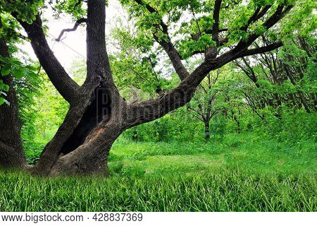 A Hollow In A Large Tree In The Forest. Old Tree With Branches In The Park. A Centuries-old Oak Tree