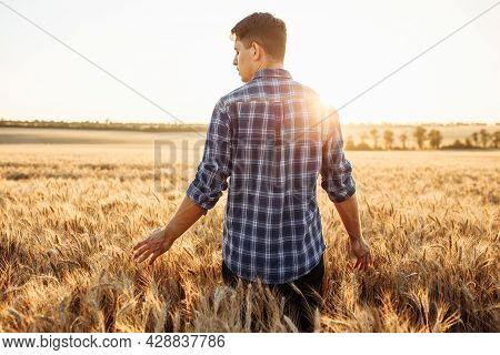 A Young Farmer Or Agronomist Walks Across A Field With Ripe Wheat And Runs His Hand Over The Spikele