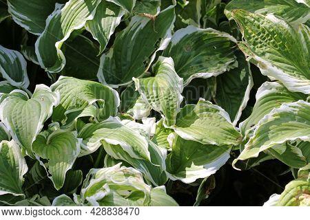Variegated Wavy Leaved Plantain Lily, Hosta Undulata Variety Albomarginata, Leaves With Green Centre