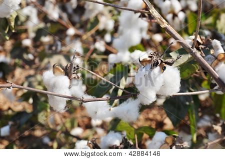Close-up Of Cotton Bolls On Branch