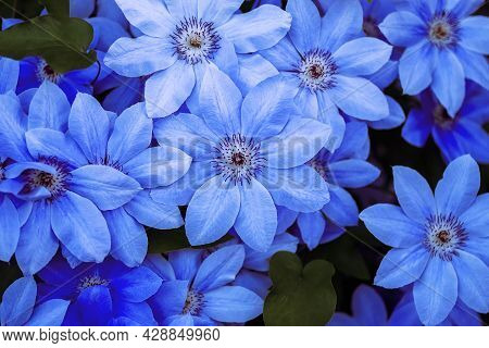 Blue Flower Background. Beautiful Blue Flowers Closeup With Blue And Violet Petals For Background Or
